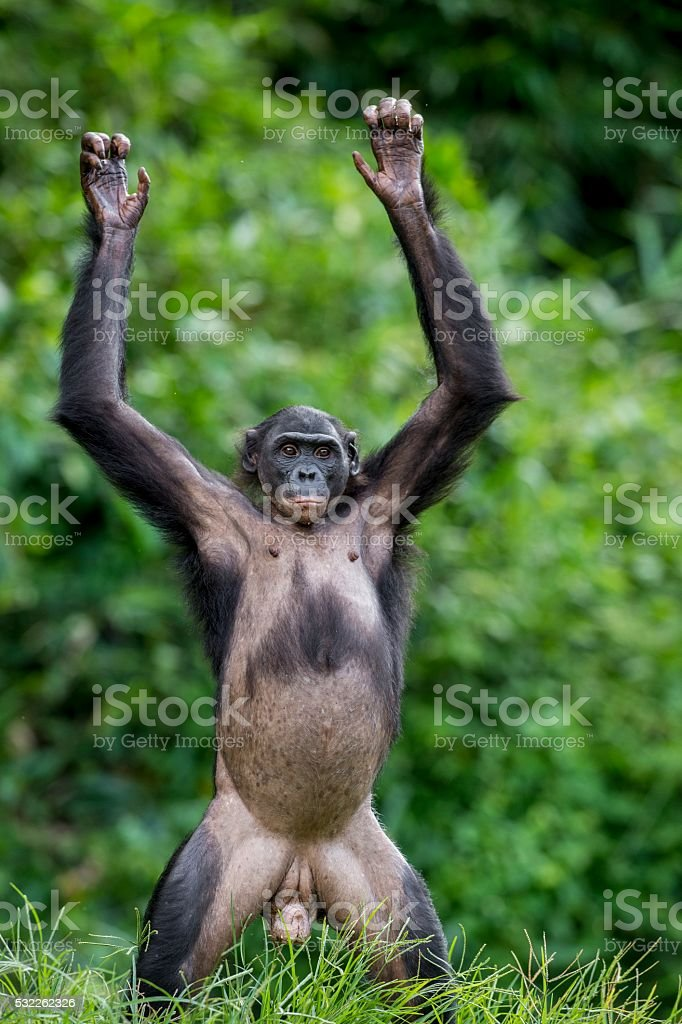 Chimpanzee Bonobo standing on her legs and hands up. stock photo