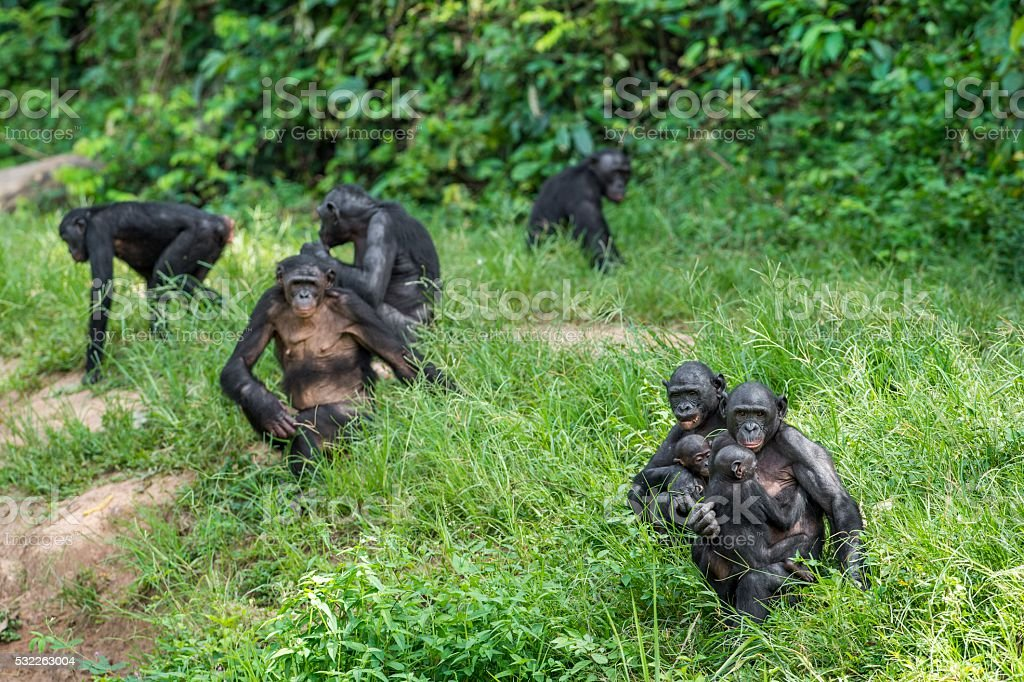 Chimpanzee Bonobos family sits on the grass. stock photo
