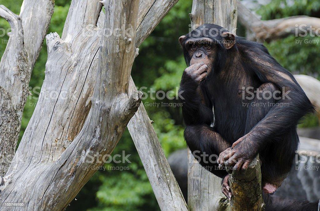 Chimpanzee chewing stock photo