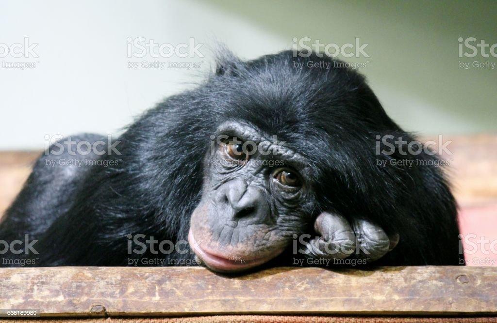 chimpanzee chimp (Pan troglodytes) sad ape monkey – Foto