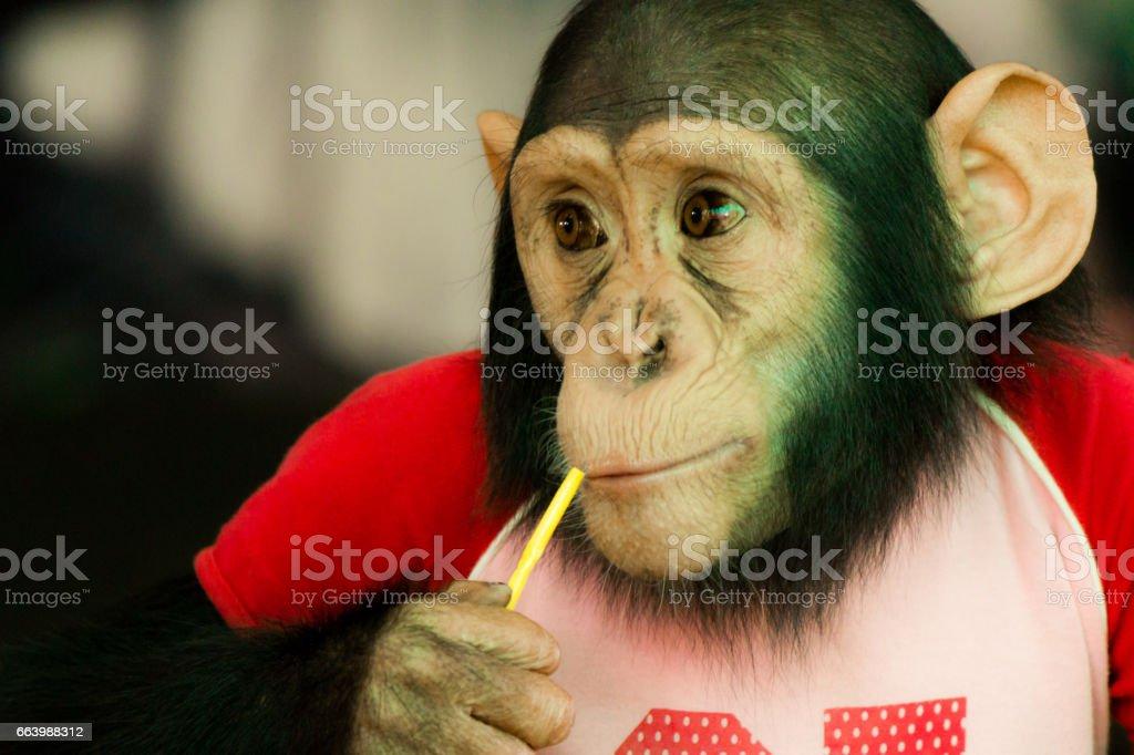 Chimpanzee drinking from straw stock photo