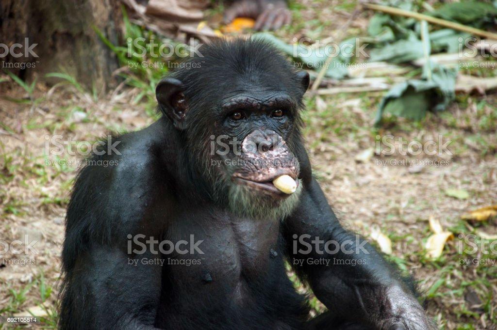 Chimpanzee eating banana stock photo