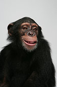 young female chimpanzee emotion portrait in studio