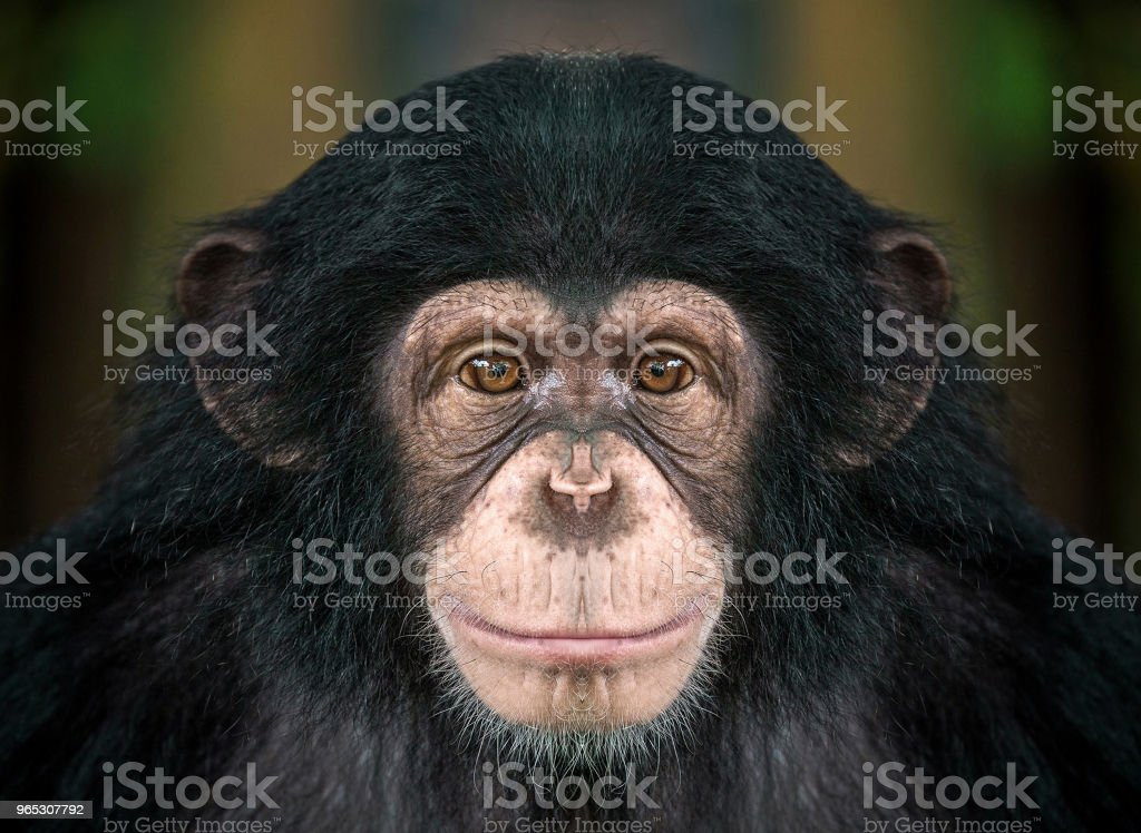 chimpanzee  face . royalty-free stock photo