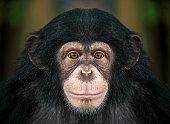 istock chimpanzee  face . 965307792