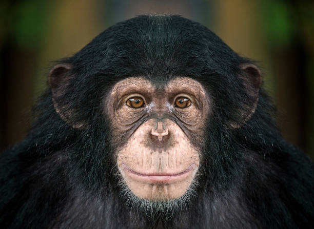 Chimpanzee face picture id965307792?b=1&k=6&m=965307792&s=612x612&w=0&h=uep0xxdhsnhn7sioonw5awe6v9jeesqdbpye7w1g2wu=