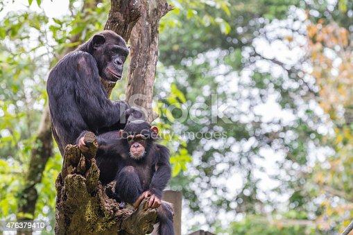Chimpanzee Family on Trunk
