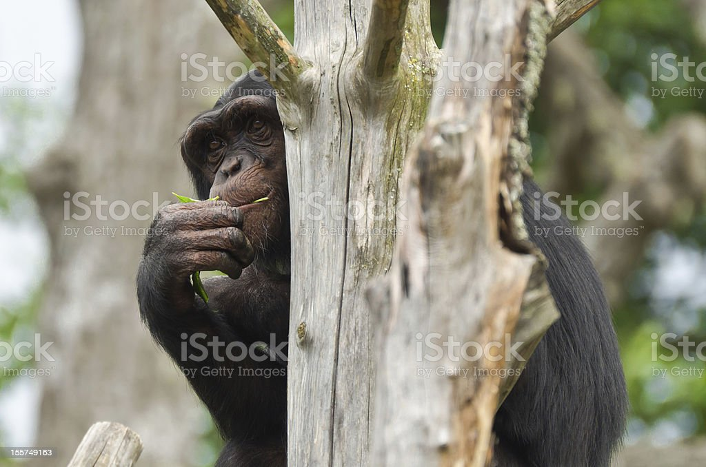 Chimpanzee hiding stock photo