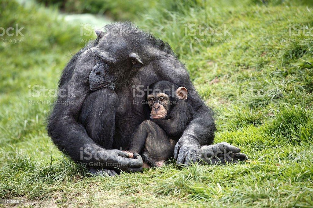 Chimpanzee holding baby stock photo
