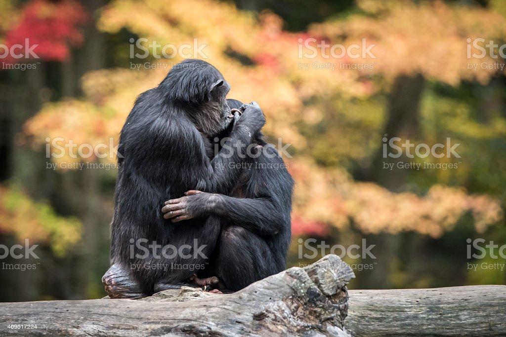 Chimpanzee Hug II stock photo