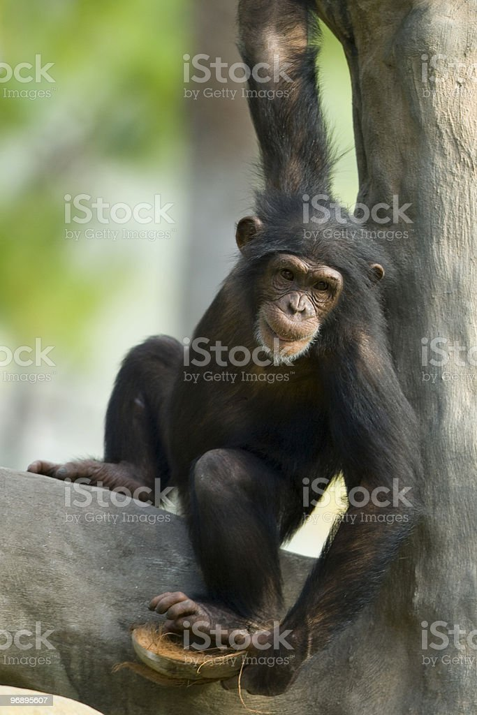Chimpanzee in tree royalty-free stock photo