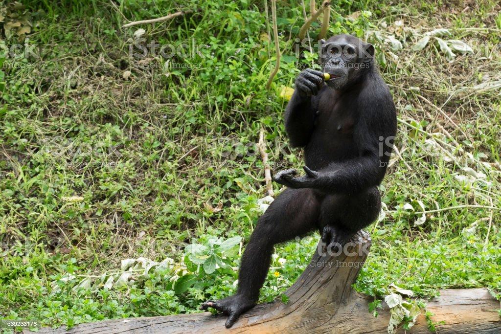 Chimpanzee intelligence monkey eating enjoy royalty-free stock photo