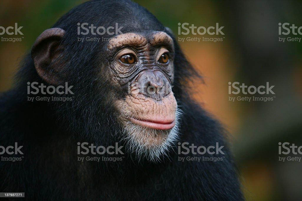 Chimpanzee is stearing something stock photo