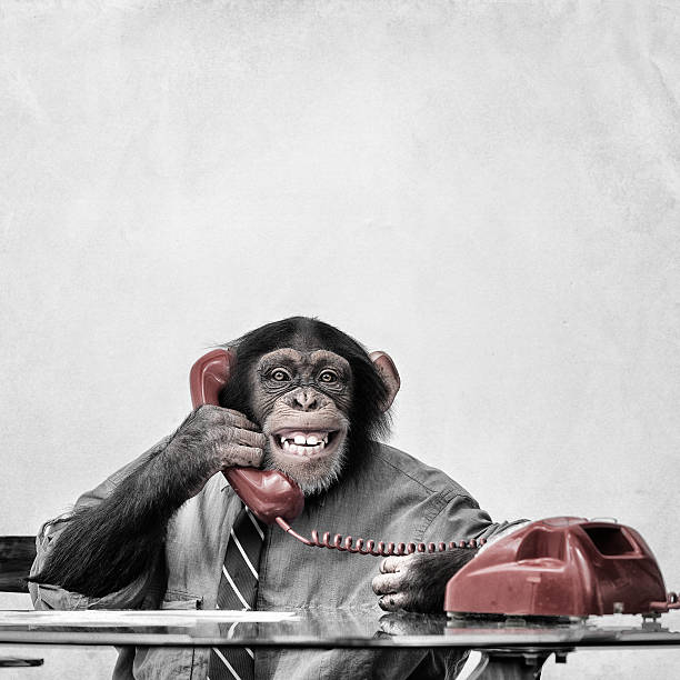 chimpanzee on the phone - monkey stock photos and pictures