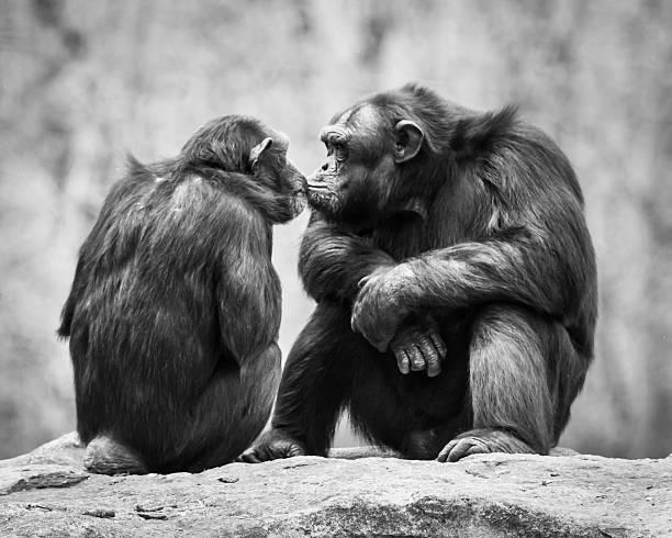 Chimpanzee Pair stock photo