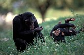 istock Chimpanzee, pan troglodytes, Female with Young sitting on Grass 1251716572