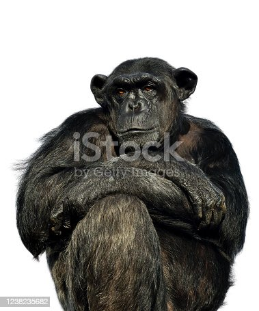 portrait of a thougtful chimpanzee on white background