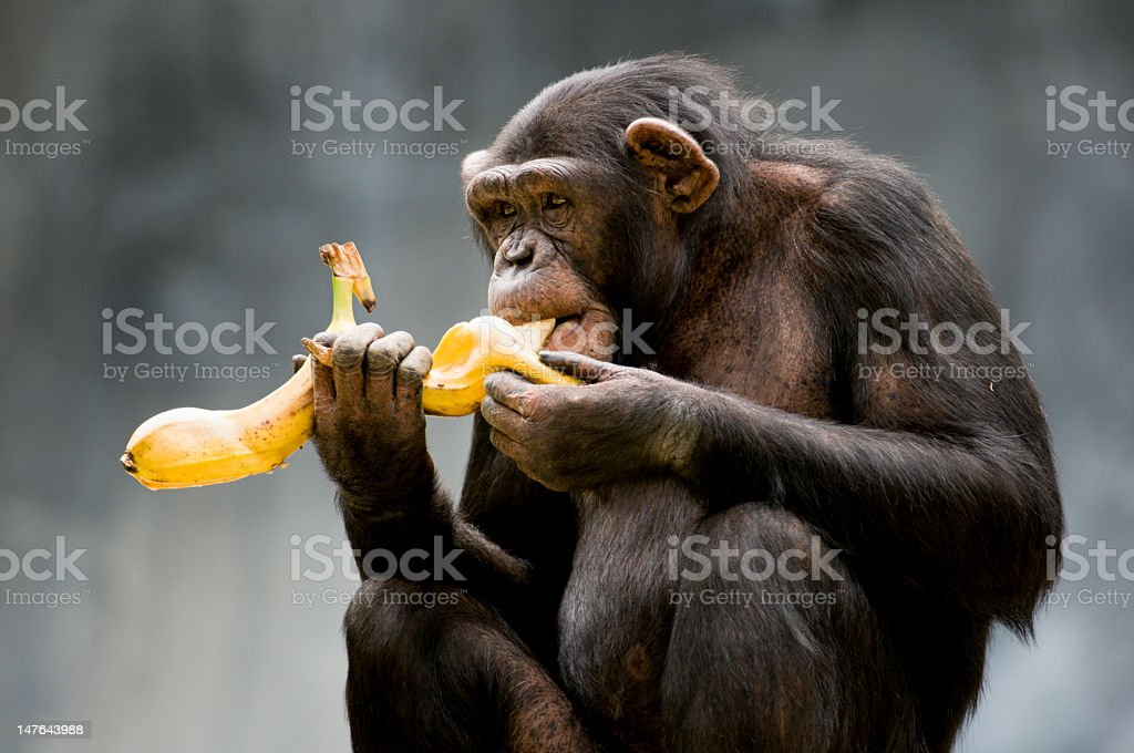 Chimpanzé - Photo