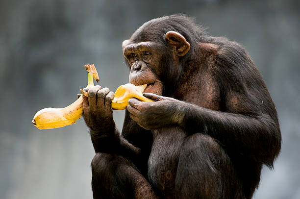 chimpanzee - ape stock pictures, royalty-free photos & images