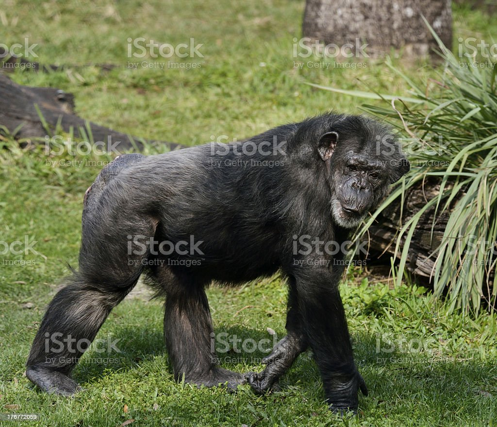 Chimpanzee royalty-free stock photo