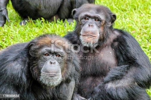 Close-up of two Chimpanzees, Miami, Florida, USA