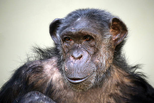 Chimpanzee Stock Photo - Download Image Now - iStock