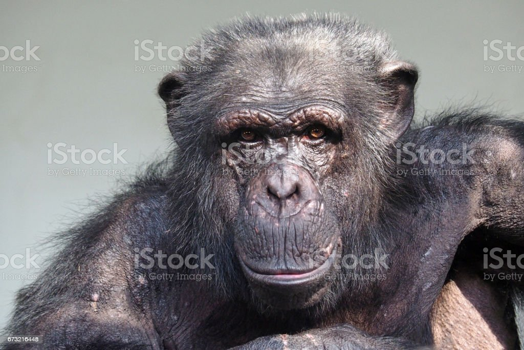 Chimpanzee - Photo