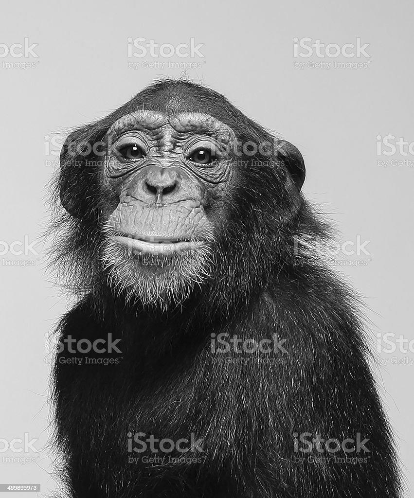 Chimpanzee portrait in studio stock photo