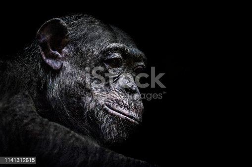 Portrait of chimpanzee against black background