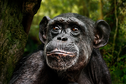 Portrait of chimpanzee seating on a tree in the forest and looking up.