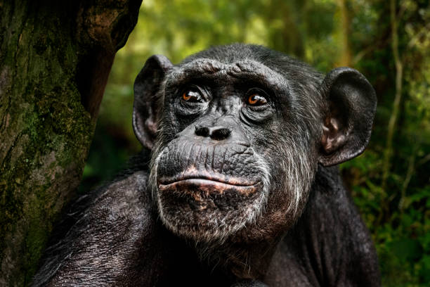 Chimpanzee portrait Portrait of chimpanzee seating on a tree in the forest and looking up. wildlife reserve stock pictures, royalty-free photos & images