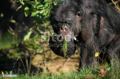 Chimpanzee (Common Chimpanzee, Pan troglodytes) searching the ground for food