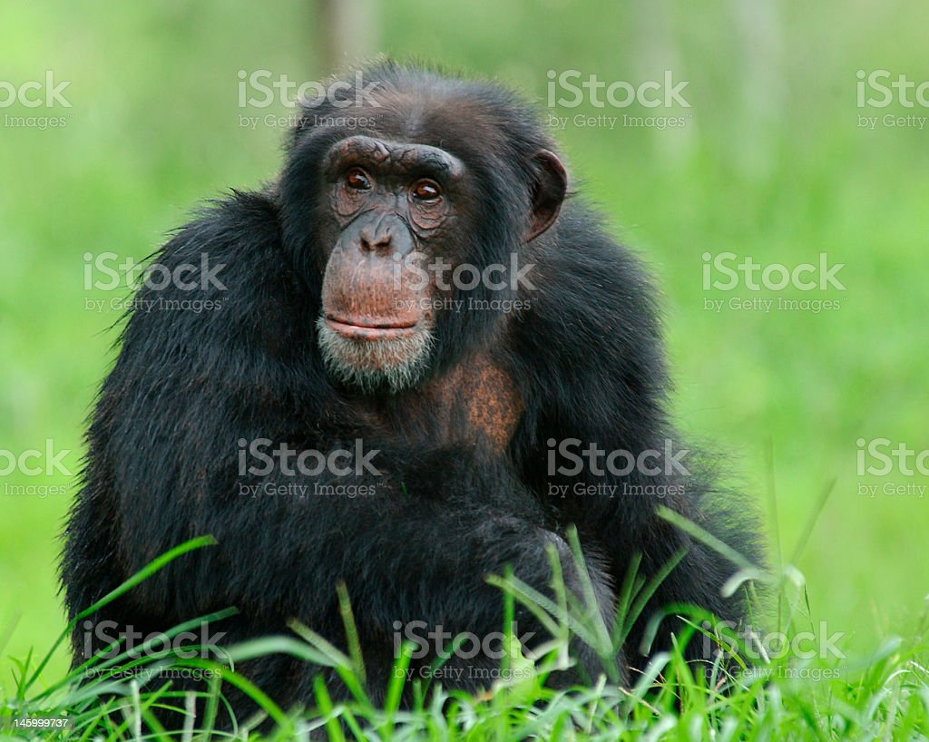 A chimpanzee sitting in the grass stock photo