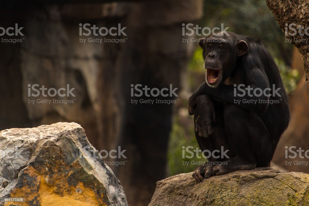 Chimpanzee sitting on a rock yawning stock photo