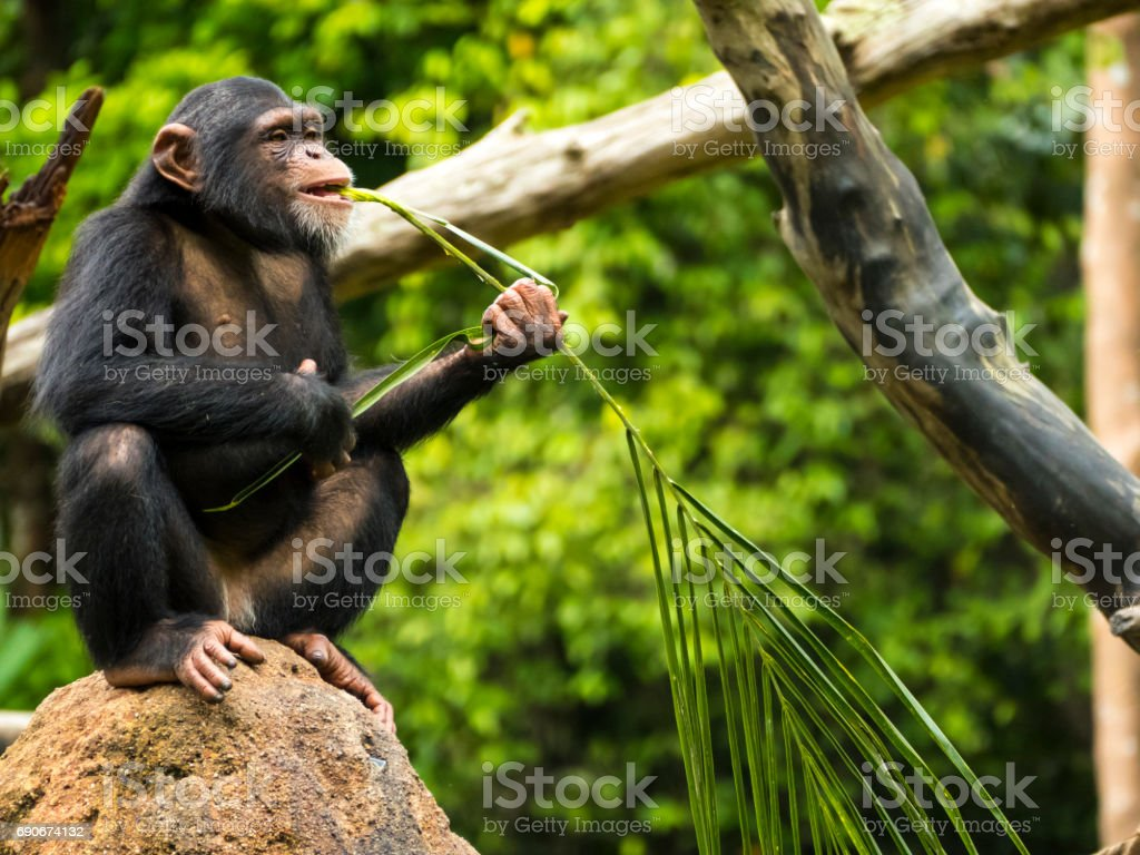 Chimpanzee sitting on a tree and eating stock photo