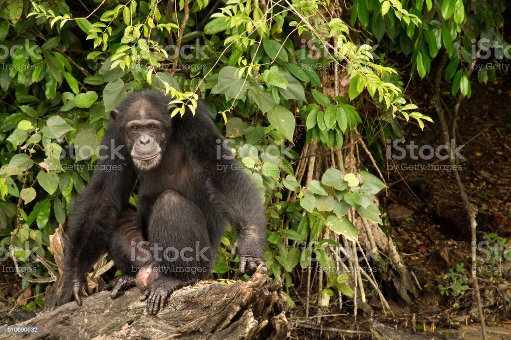 Chimpanzee sitting on log stock photo
