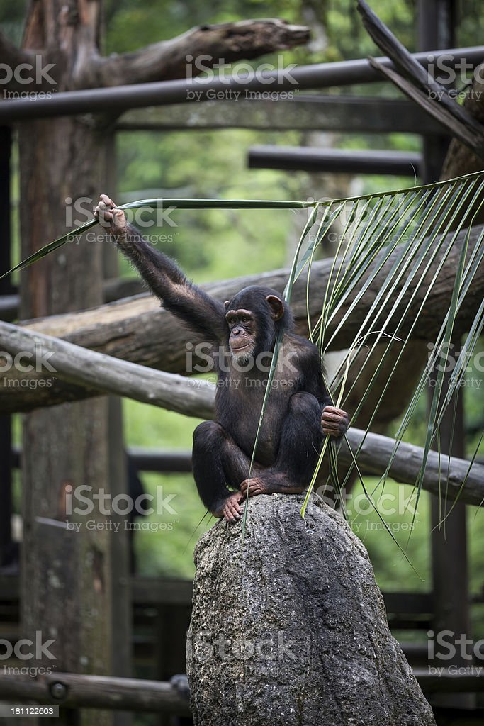 Chimpanzee Sitting on Rock in the Forest royalty-free stock photo