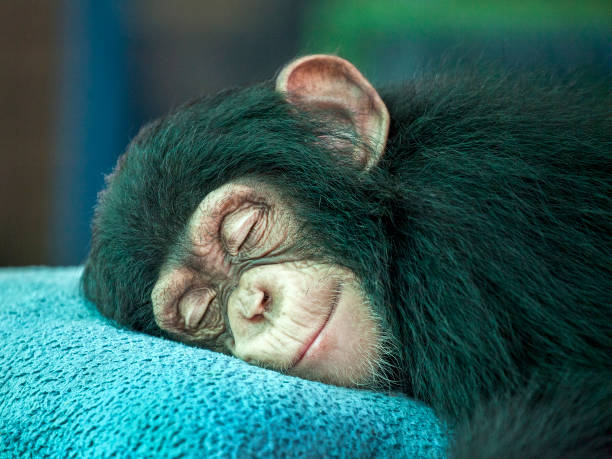 chimpanzee  sleeping. - ape stock pictures, royalty-free photos & images