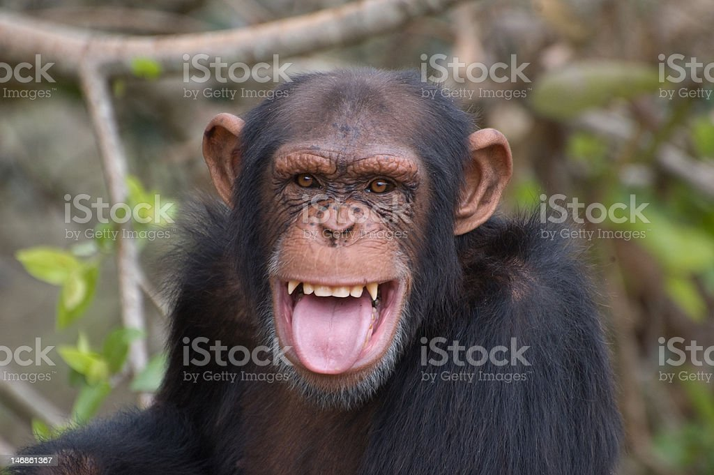 Chimpanzee smiling stock photo