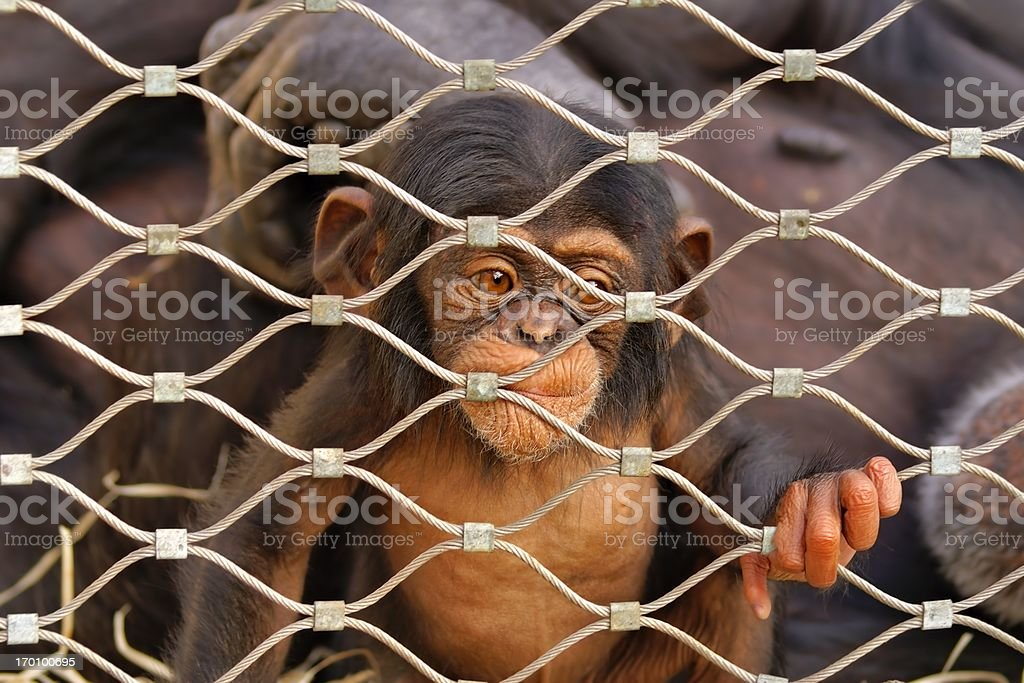 Chimpanzee (Pan troglodytes) sorrowful baby monkey in a cage royalty-free stock photo