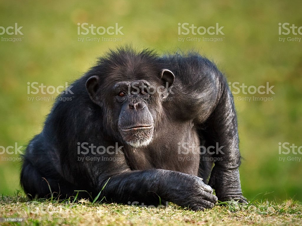chimpanzee staring at camera stock photo