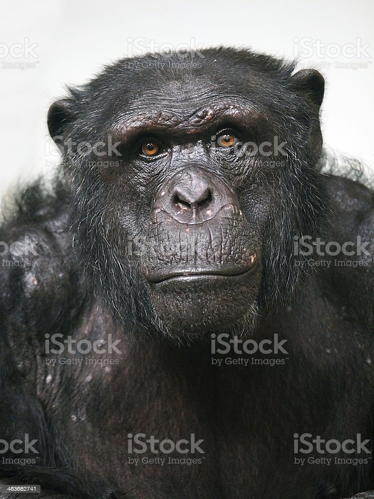 Chimpanzee staring into the camera  stock photo