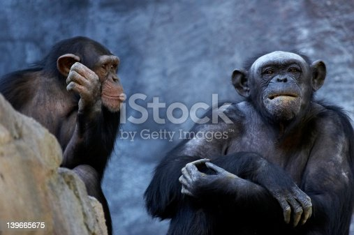 Two adult chimps talking and thinking.