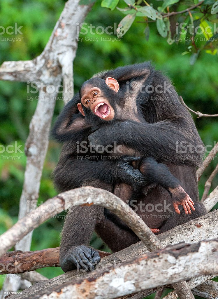 Chimpanzee with a cub stock photo