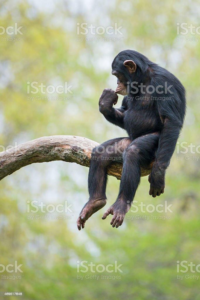Chimpanzee XIII stock photo