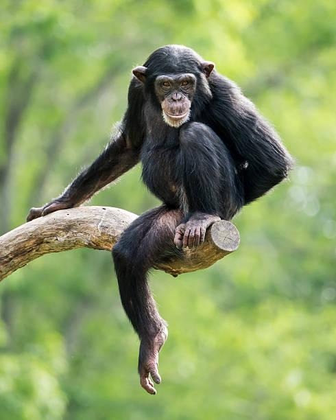 Chimpanzee XXIII stock photo