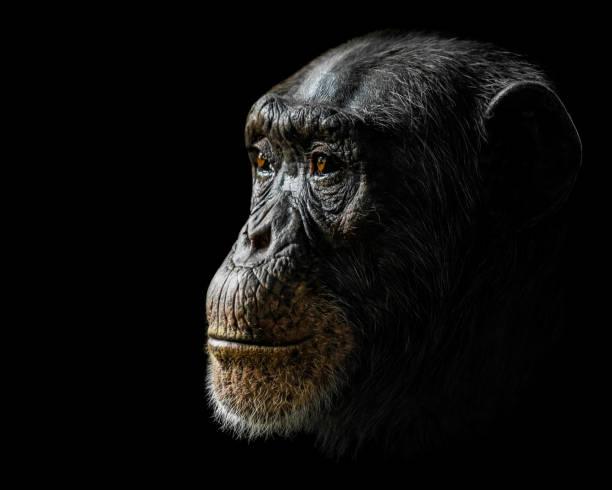 Chimpanzee XXIV stock photo