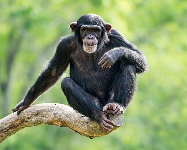 Chimpanzee XXVI stock photo