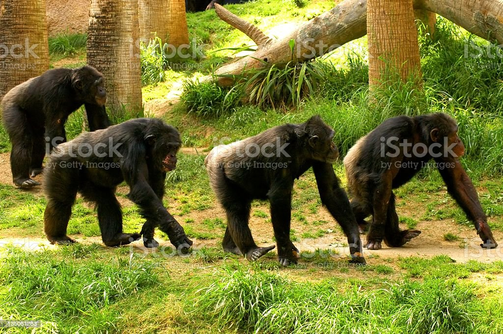 chimpanzees marching royalty-free stock photo