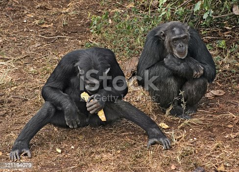Outdoor shot in Uganda (Africa) showing two chimpanzees while sitting on the ground